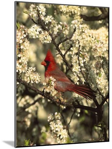 Northern Cardinal (CardinalisCardinalis) in Beach Plum (PrunusMaritima) Tree, Long Island, New York-Tom Vezo/Minden Pictures-Mounted Photographic Print