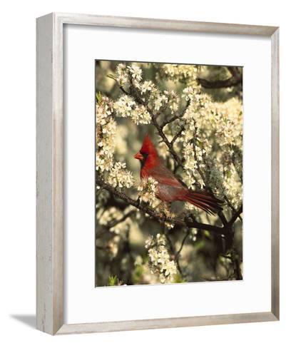 Northern Cardinal (CardinalisCardinalis) in Beach Plum (PrunusMaritima) Tree, Long Island, New York-Tom Vezo/Minden Pictures-Framed Art Print