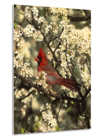 Northern Cardinal (CardinalisCardinalis) in Beach Plum (PrunusMaritima) Tree, Long Island, New York-Tom Vezo/Minden Pictures-Metal Print