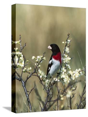 Rose-Breasted Grosbeak (Pheucticus Ludovicianus) in Beach Plum Tree, Long Island, New York-Tom Vezo/Minden Pictures-Stretched Canvas Print