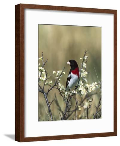 Rose-Breasted Grosbeak (Pheucticus Ludovicianus) in Beach Plum Tree, Long Island, New York-Tom Vezo/Minden Pictures-Framed Art Print