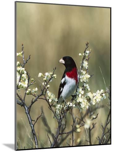 Rose-Breasted Grosbeak (Pheucticus Ludovicianus) in Beach Plum Tree, Long Island, New York-Tom Vezo/Minden Pictures-Mounted Photographic Print