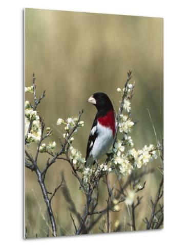 Rose-Breasted Grosbeak (Pheucticus Ludovicianus) in Beach Plum Tree, Long Island, New York-Tom Vezo/Minden Pictures-Metal Print