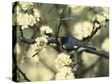 Black-Throated Blue Warbler (Dendroica Caerulescens) in Beach Plum Tree, Long Island, New York-Tom Vezo/Minden Pictures-Stretched Canvas Print