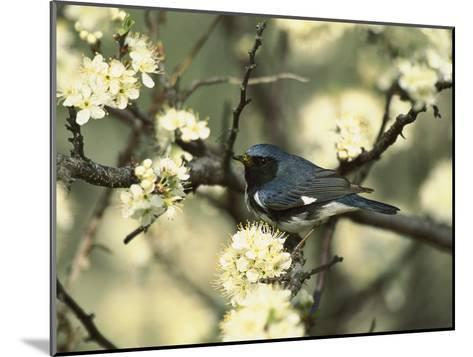 Black-Throated Blue Warbler (Dendroica Caerulescens) in Beach Plum Tree, Long Island, New York-Tom Vezo/Minden Pictures-Mounted Photographic Print