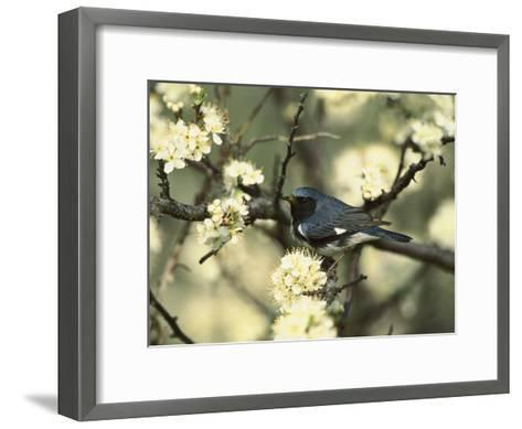 Black-Throated Blue Warbler (Dendroica Caerulescens) in Beach Plum Tree, Long Island, New York-Tom Vezo/Minden Pictures-Framed Art Print