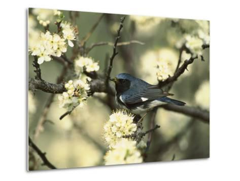 Black-Throated Blue Warbler (Dendroica Caerulescens) in Beach Plum Tree, Long Island, New York-Tom Vezo/Minden Pictures-Metal Print