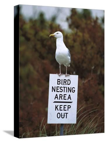 Herring Gull (Larus Argentatus) Adult Perched on 'Keep Out' Sign, Long Island, New York-Tom Vezo/Minden Pictures-Stretched Canvas Print