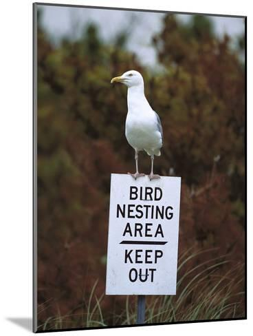 Herring Gull (Larus Argentatus) Adult Perched on 'Keep Out' Sign, Long Island, New York-Tom Vezo/Minden Pictures-Mounted Photographic Print