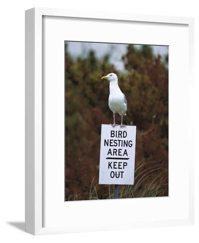 Herring Gull (Larus Argentatus) Adult Perched on 'Keep Out' Sign, Long Island, New York-Tom Vezo/Minden Pictures-Framed Art Print