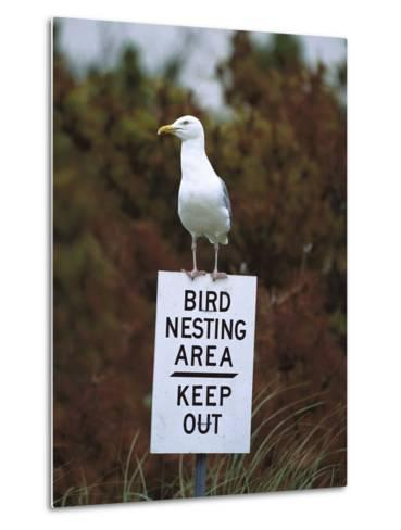 Herring Gull (Larus Argentatus) Adult Perched on 'Keep Out' Sign, Long Island, New York-Tom Vezo/Minden Pictures-Metal Print
