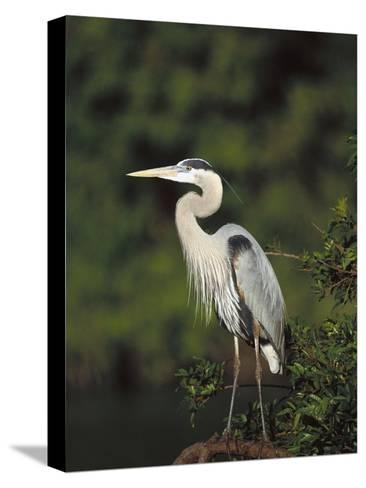 Great Blue Heron (Ardea Herodias) Perching, Florida-Tom Vezo/Minden Pictures-Stretched Canvas Print