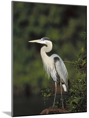 Great Blue Heron (Ardea Herodias) Perching, Florida-Tom Vezo/Minden Pictures-Mounted Photographic Print