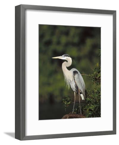 Great Blue Heron (Ardea Herodias) Perching, Florida-Tom Vezo/Minden Pictures-Framed Art Print