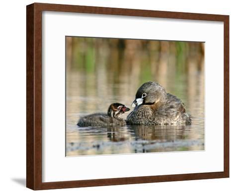 Pied-Billed Grebe (PodilymbusPodiceps), Amherst Point Migratory Bird Sanctuary, Nova Scotia, Canada-Scott Leslie/Minden Pictures-Framed Art Print