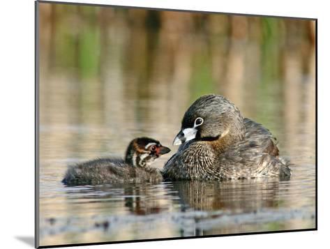 Pied-Billed Grebe (PodilymbusPodiceps), Amherst Point Migratory Bird Sanctuary, Nova Scotia, Canada-Scott Leslie/Minden Pictures-Mounted Photographic Print
