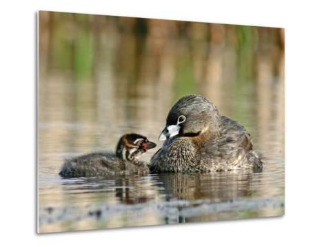 Pied-Billed Grebe (PodilymbusPodiceps), Amherst Point Migratory Bird Sanctuary, Nova Scotia, Canada-Scott Leslie/Minden Pictures-Metal Print