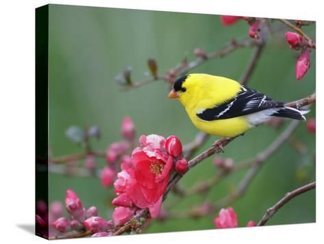American Goldfinch (Carduelis Tristis) Male in Breeding Plumage, Nova Scotia, Canada-Scott Leslie/Minden Pictures-Stretched Canvas Print