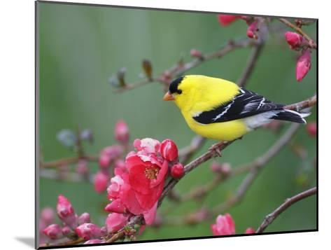 American Goldfinch (Carduelis Tristis) Male in Breeding Plumage, Nova Scotia, Canada-Scott Leslie/Minden Pictures-Mounted Photographic Print