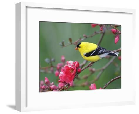American Goldfinch (Carduelis Tristis) Male in Breeding Plumage, Nova Scotia, Canada-Scott Leslie/Minden Pictures-Framed Art Print