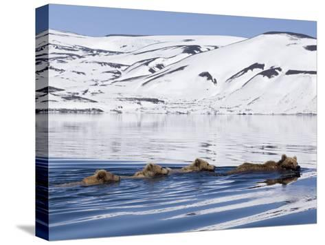 Brown Bear (Ursus Arctos) Mother and Three Cubs Swimming, Kamchatka, Russia-Sergey Gorshkov/Minden Pictures-Stretched Canvas Print