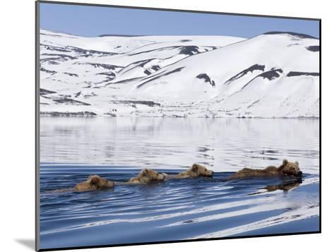 Brown Bear (Ursus Arctos) Mother and Three Cubs Swimming, Kamchatka, Russia-Sergey Gorshkov/Minden Pictures-Mounted Photographic Print