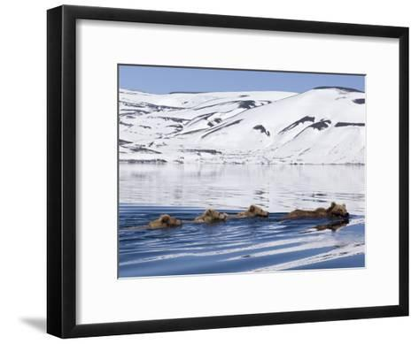 Brown Bear (Ursus Arctos) Mother and Three Cubs Swimming, Kamchatka, Russia-Sergey Gorshkov/Minden Pictures-Framed Art Print