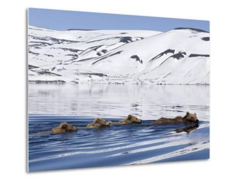 Brown Bear (Ursus Arctos) Mother and Three Cubs Swimming, Kamchatka, Russia-Sergey Gorshkov/Minden Pictures-Metal Print