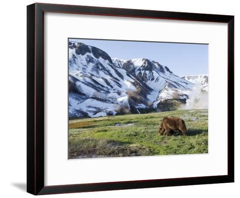Brown Bear (Ursus Arctos) Foraging, Kamchatka, Russia-Sergey Gorshkov/Minden Pictures-Framed Art Print