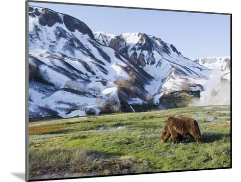 Brown Bear (Ursus Arctos) Foraging, Kamchatka, Russia-Sergey Gorshkov/Minden Pictures-Mounted Photographic Print
