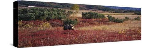 Brown Bear (Ursus Arctos) Kamchatka, Russia-Sergey Gorshkov/Minden Pictures-Stretched Canvas Print