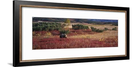 Brown Bear (Ursus Arctos) Kamchatka, Russia-Sergey Gorshkov/Minden Pictures-Framed Art Print