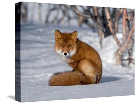Red Fox (Vulpes Vulpes) Sitting on Snow, Kamchatka, Russia-Sergey Gorshkov/Minden Pictures-Stretched Canvas Print