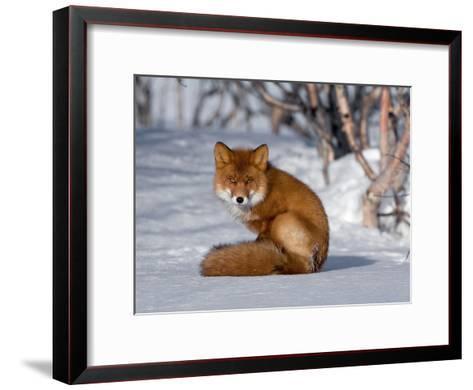 Red Fox (Vulpes Vulpes) Sitting on Snow, Kamchatka, Russia-Sergey Gorshkov/Minden Pictures-Framed Art Print