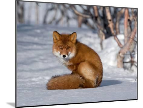 Red Fox (Vulpes Vulpes) Sitting on Snow, Kamchatka, Russia-Sergey Gorshkov/Minden Pictures-Mounted Photographic Print