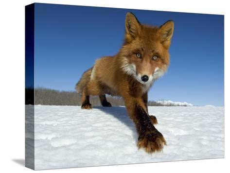 Red Fox (Vulpes Vulpes) on Snow, Kamchatka, Russia-Sergey Gorshkov/Minden Pictures-Stretched Canvas Print