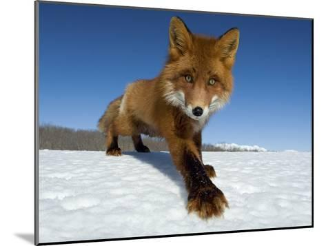 Red Fox (Vulpes Vulpes) on Snow, Kamchatka, Russia-Sergey Gorshkov/Minden Pictures-Mounted Photographic Print