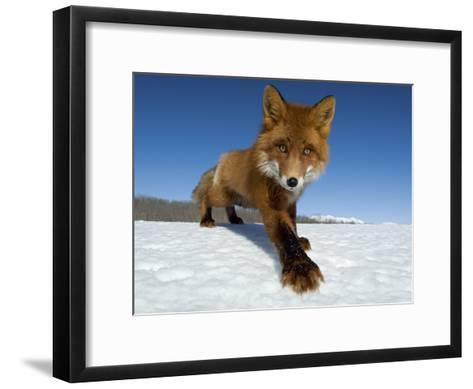 Red Fox (Vulpes Vulpes) on Snow, Kamchatka, Russia-Sergey Gorshkov/Minden Pictures-Framed Art Print