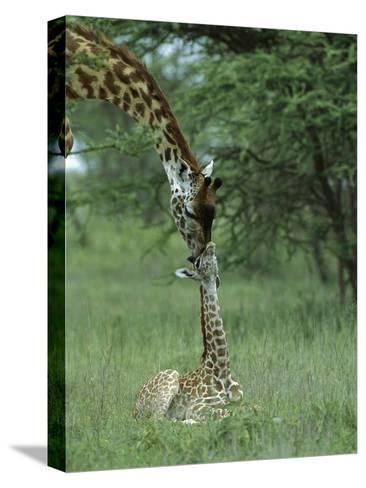 Giraffe (Giraffa Camelopardalis) Newborn Calf and Mother, Ngorongoro Conservation Area, Tanzania-Suzi Eszterhas/Minden Pictures-Stretched Canvas Print