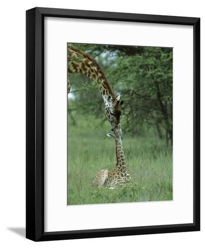 Giraffe (Giraffa Camelopardalis) Newborn Calf and Mother, Ngorongoro Conservation Area, Tanzania-Suzi Eszterhas/Minden Pictures-Framed Art Print