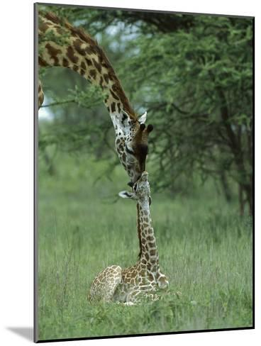Giraffe (Giraffa Camelopardalis) Newborn Calf and Mother, Ngorongoro Conservation Area, Tanzania-Suzi Eszterhas/Minden Pictures-Mounted Photographic Print