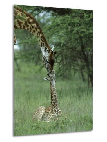 Giraffe (Giraffa Camelopardalis) Newborn Calf and Mother, Ngorongoro Conservation Area, Tanzania-Suzi Eszterhas/Minden Pictures-Metal Print