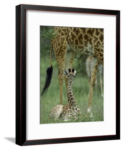 Giraffe (Giraffa Camelopardalis) Newborn Calf, Ngorongoro Conservation Area, Tanzania-Suzi Eszterhas/Minden Pictures-Framed Art Print