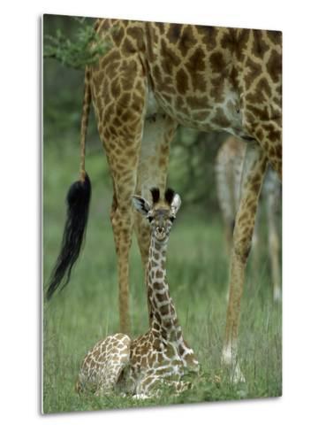 Giraffe (Giraffa Camelopardalis) Newborn Calf, Ngorongoro Conservation Area, Tanzania-Suzi Eszterhas/Minden Pictures-Metal Print
