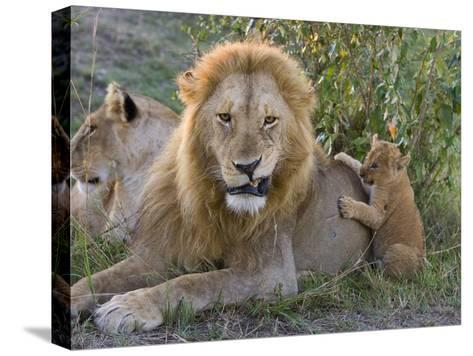 African Lion (Panthera Leo)Cub Playing with Adult Male, Vulnerable, Masai Mara Nat'l Reserve, Kenya-Suzi Eszterhas/Minden Pictures-Stretched Canvas Print