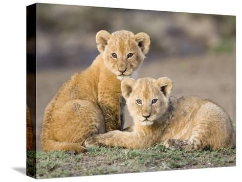 African Lion (Panthera Leo) Four to Five Week Old Cubs, Vulnerable, Masai Mara Nat'l Reserve, Kenya-Suzi Eszterhas/Minden Pictures-Stretched Canvas Print