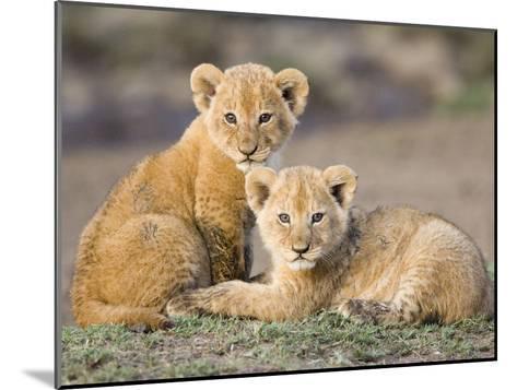 African Lion (Panthera Leo) Four to Five Week Old Cubs, Vulnerable, Masai Mara Nat'l Reserve, Kenya-Suzi Eszterhas/Minden Pictures-Mounted Photographic Print