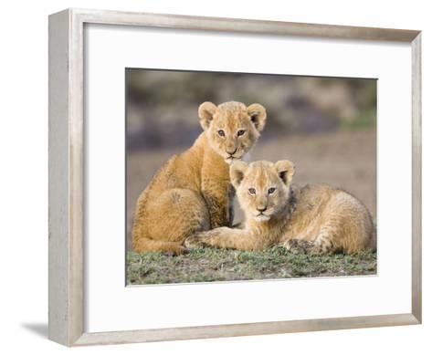 African Lion (Panthera Leo) Four to Five Week Old Cubs, Vulnerable, Masai Mara Nat'l Reserve, Kenya-Suzi Eszterhas/Minden Pictures-Framed Art Print