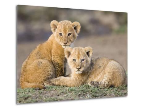 African Lion (Panthera Leo) Four to Five Week Old Cubs, Vulnerable, Masai Mara Nat'l Reserve, Kenya-Suzi Eszterhas/Minden Pictures-Metal Print