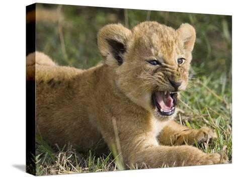 African Lion (PantheraLeo) 6 to 7 Week Old Cub Yawning, Vulnerable, Masai Mara Nat'l Reserve, Kenya-Suzi Eszterhas/Minden Pictures-Stretched Canvas Print